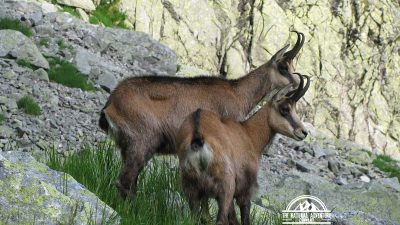 self guided hiking, Carpatian mountains, Poland, mountain goats close up