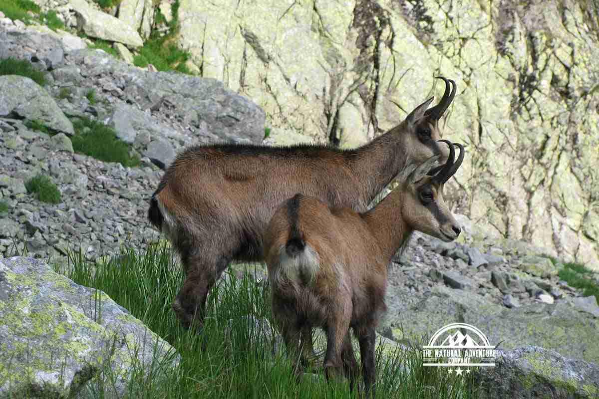 self guided hiking, Carpatian mountains, Poland, mountain goats close up
