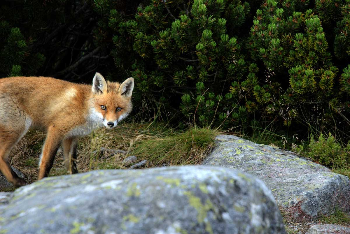 Slovakia self guided hiking tour fox 2