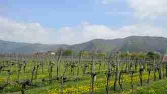 Walking in Wachau Wine Country 40
